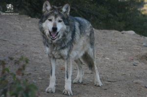 wolf at the CA wolf center