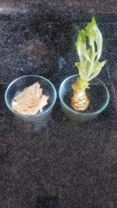 regrown lettuce