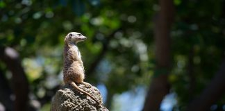 meerkat sitting on top of a termite mound