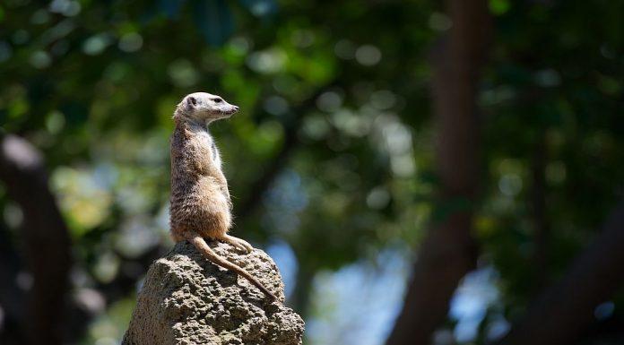 meerkat sitting on top of a termite mound