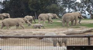an elephant herd walking across a zoo exhibit
