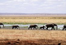 an elephant herd walks across the African savanna