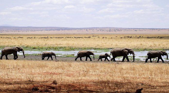an elephant herd walks across the African savanna