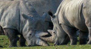 A pair of rhinos nudging each other with their horns