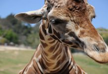 A close up of a giraffes head with open grassland in the background