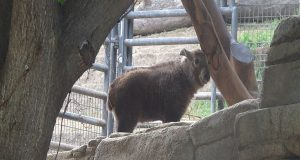 A baby Golden Takin stands on a ledge between two trees